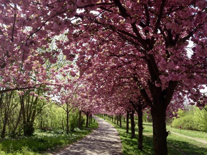 cherry-blossom-1742599_1280